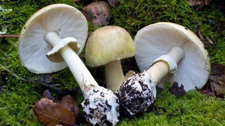 Una dintre cele mai toxice ciuperci din lume creşte în Republica Moldova