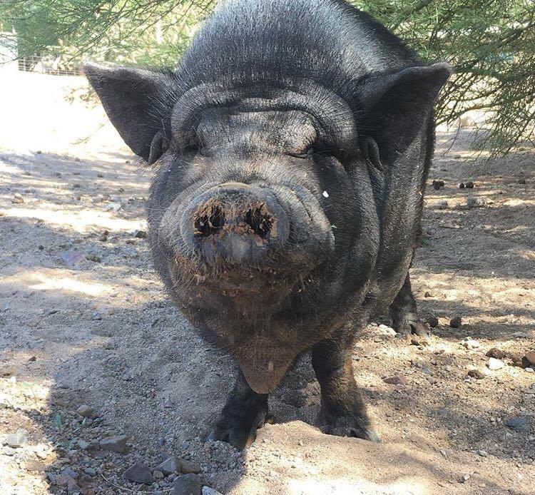 Alertă! Virusul pestei porcine se apropie de București