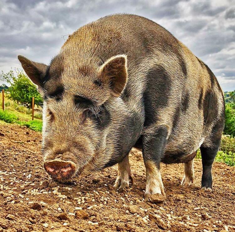 Sute de focare de pestă porcină în România