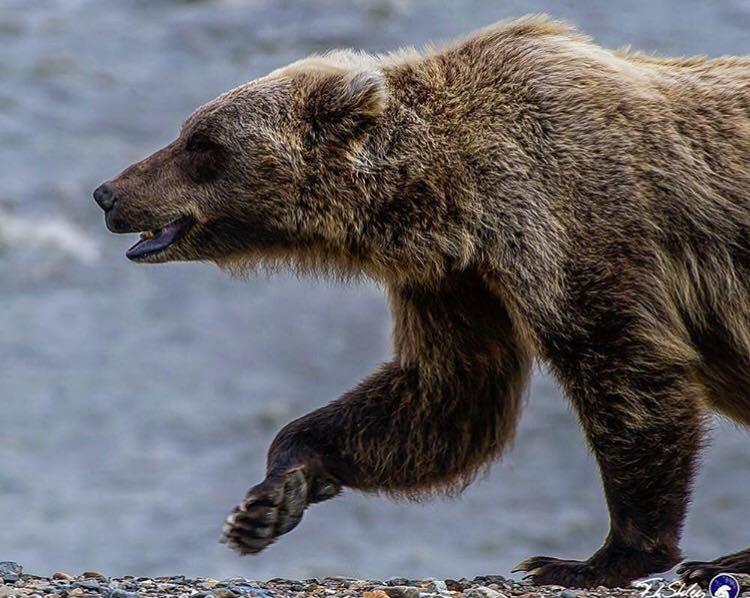 Urșii, împiedicați să intre pe autostradă cu garduri electrice
