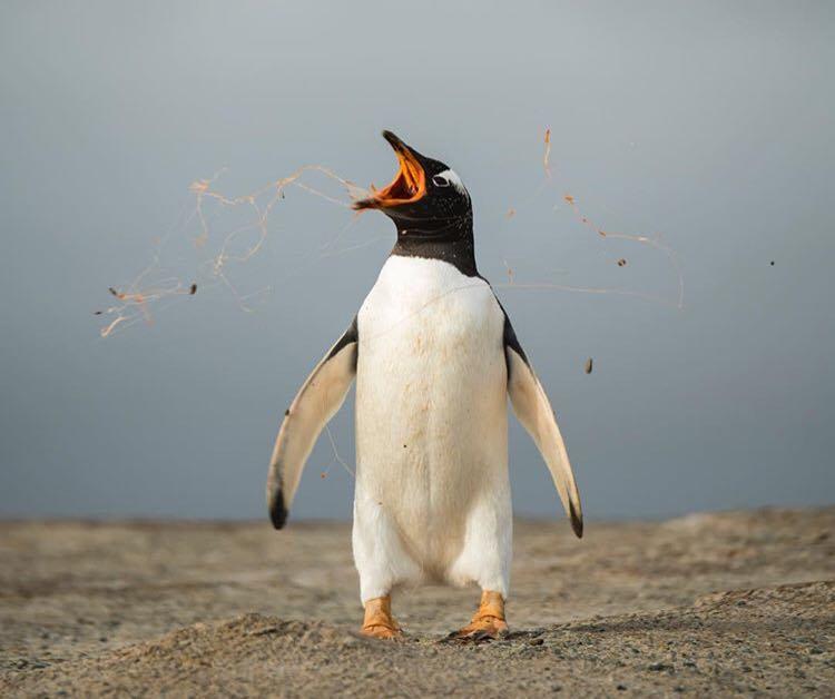 Un pinguin, vedetă pentru că își așteaptă mama pe plajă