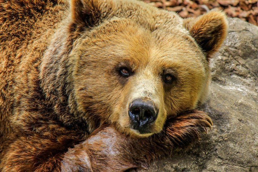 Ministerul Mediului a aprobat împușcarea a 140 de urşi